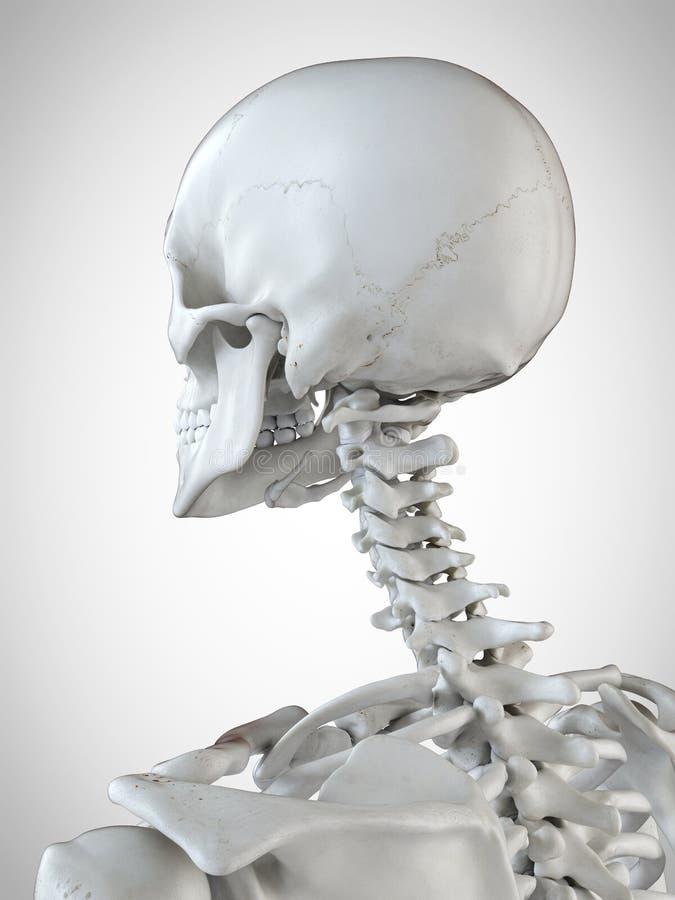 骨骼脖子 向量例证