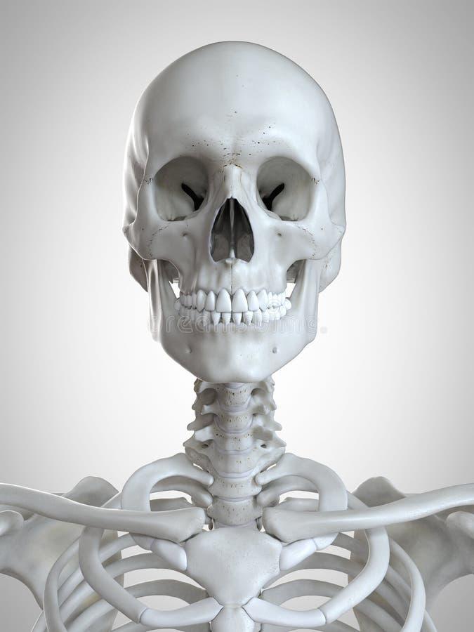 骨骼脖子 皇族释放例证