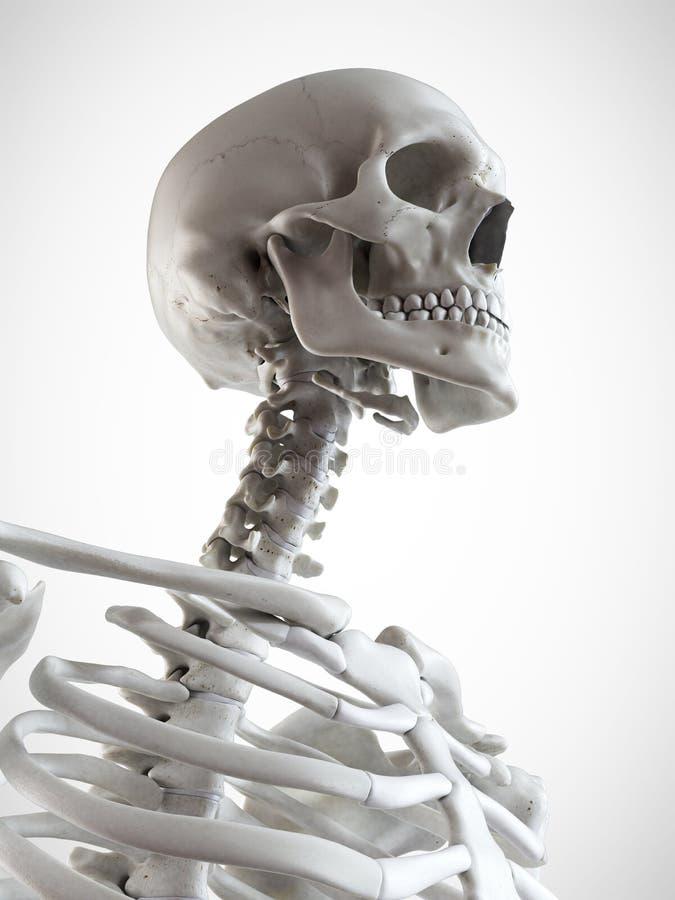 骨骼脖子 库存例证