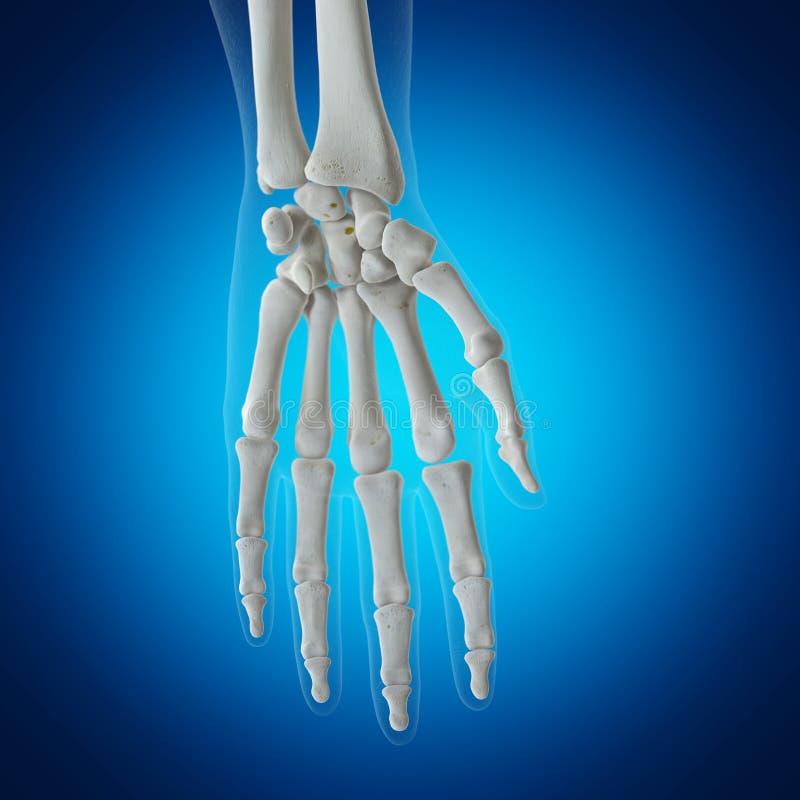 骨骼腕子 皇族释放例证