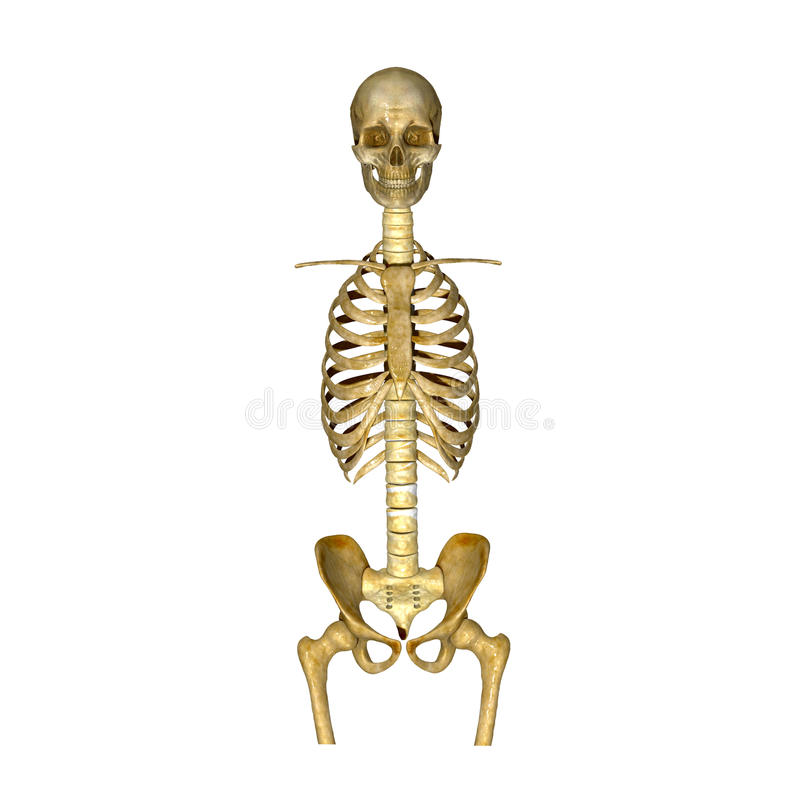 骨骼:头骨、肋骨、中坚和臀部骨头 库存例证