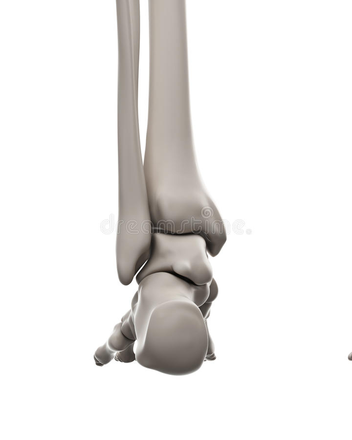 骨骼系统-脚 皇族释放例证
