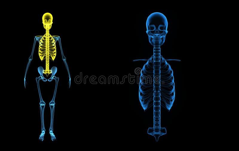 头骨,与脊柱的胸廓 向量例证