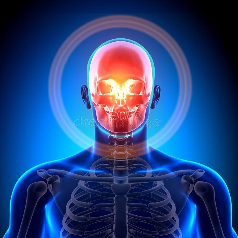 头骨/头盖骨-解剖学骨头 皇族释放例证
