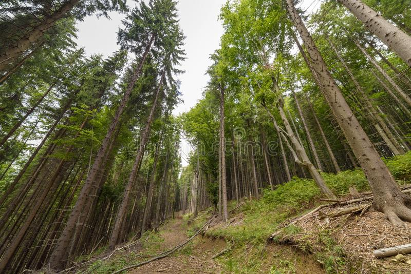高云杉的森林 图库摄影