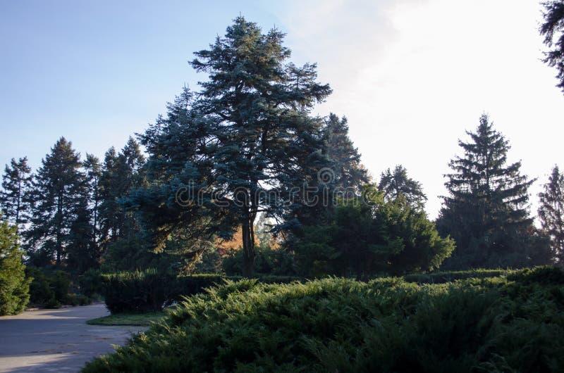 高云杉 美丽的针叶树在植物园里 具球果王国 库存图片