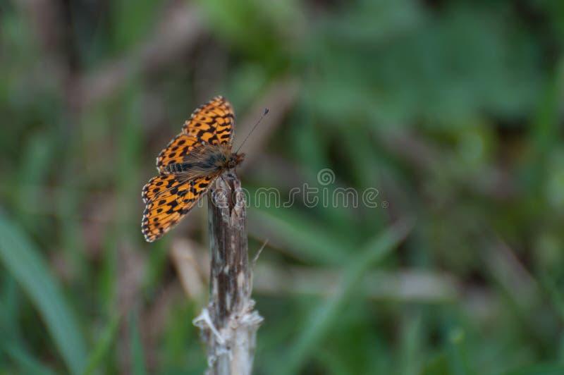 高准备好布朗贝母Argynnis adippe橙色的蝴蝶飞行 库存图片