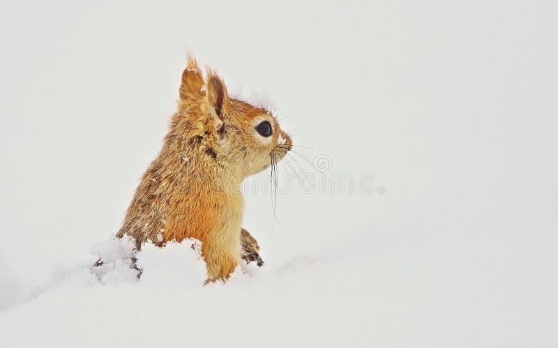高加索松鼠(Sciurus anomalus)通常住在树上 冬天夏天吃橡子 库存照片