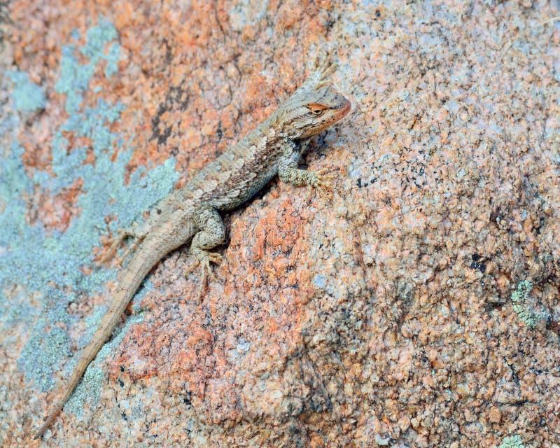 Download 高原边的blotched蜥蜴 库存图片. 图片 包括有 户外, 本质, 蜥蜴, 栖息, 野生生物, 敌意 - 30329503