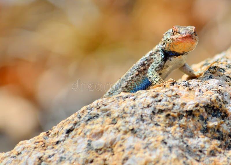 Download 高原边的blotched蜥蜴 库存图片. 图片 包括有 有机体, 壁虎, 蜥蜴, 栖息, 动物区系, 野生生物 - 30338797