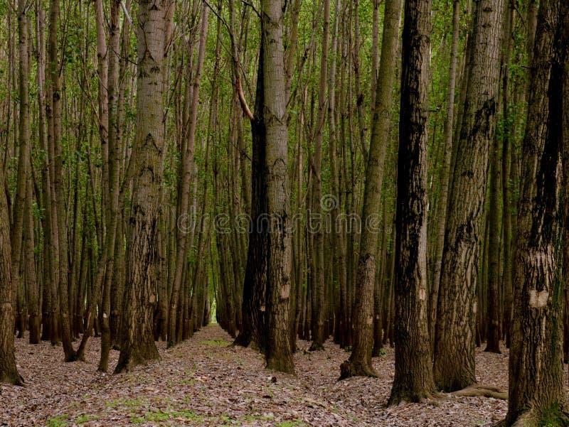 高发辫在森林托儿所在克什米尔谷印度 免版税库存图片