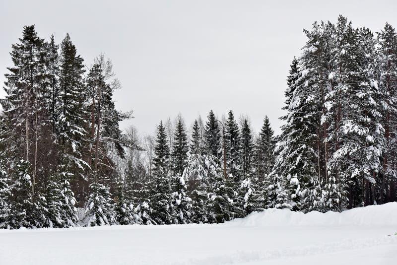 高圣诞树和积雪 免版税库存照片