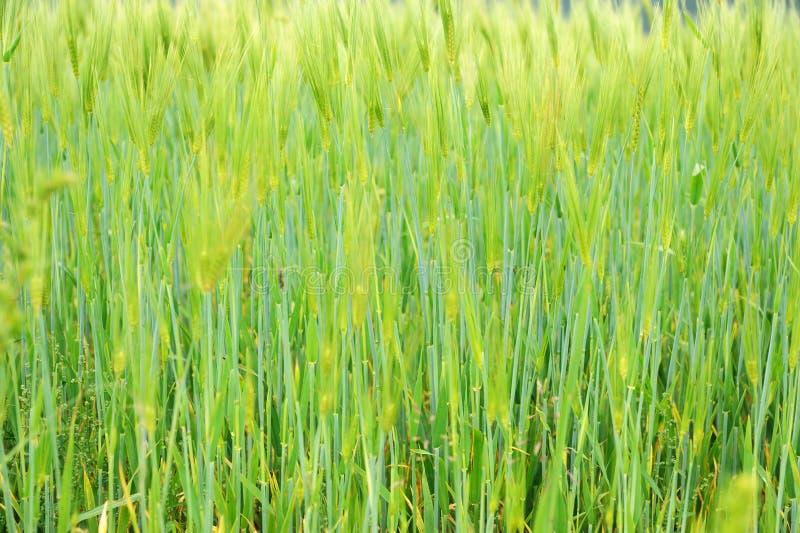 高地大麦附加费用  免版税库存图片