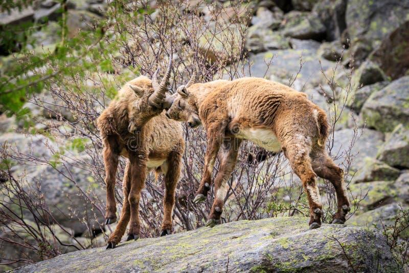 高地山羊在大帕拉迪索山国立公园 库存图片