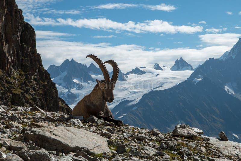 高地山羊,法国阿尔卑斯 库存照片