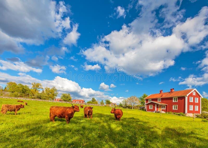 高地母牛和老农厂房子在Smaland,瑞典 免版税库存图片