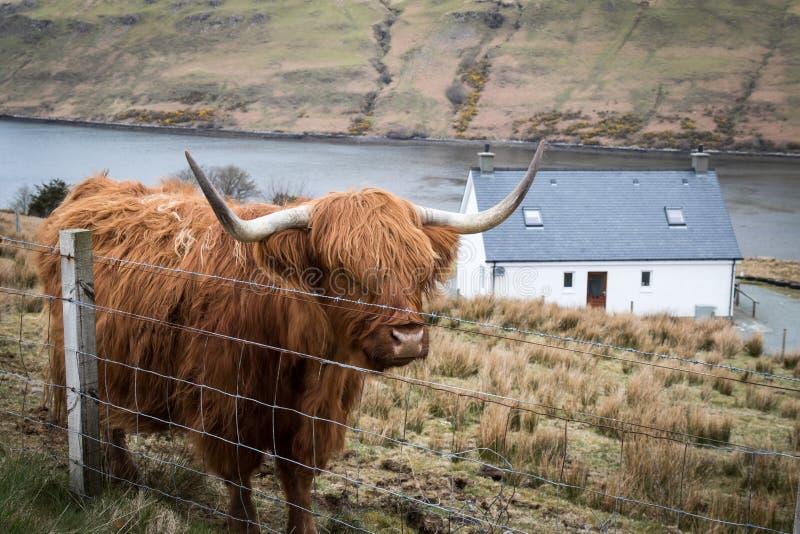 高地母牛 免版税库存图片