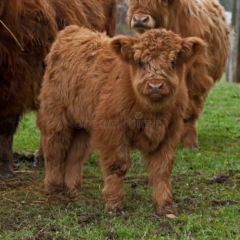 高地牛三个星期的小牛  免版税图库摄影