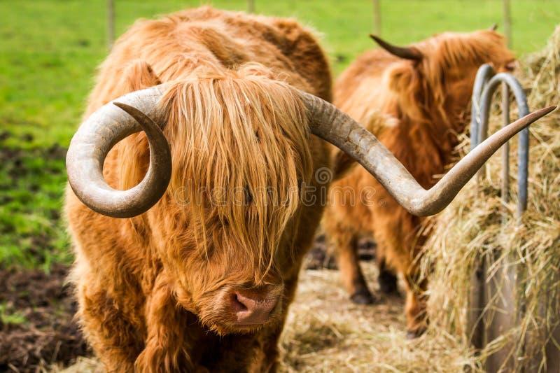 高地牛在围场吃干草 免版税库存照片