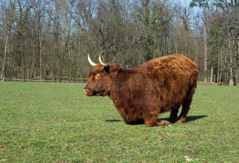 高地牛 库存照片