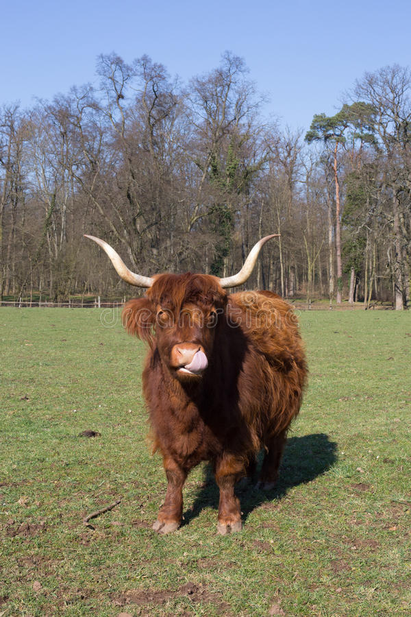 高地牛 免版税库存图片