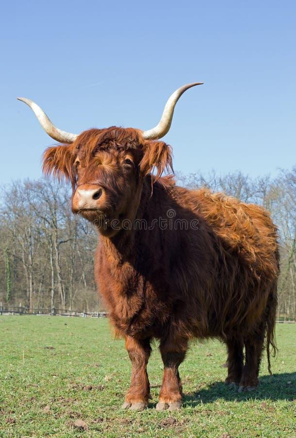 高地牛 免版税库存照片