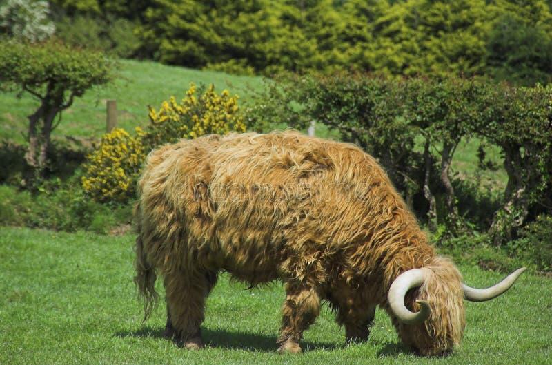 高地的牛 库存图片