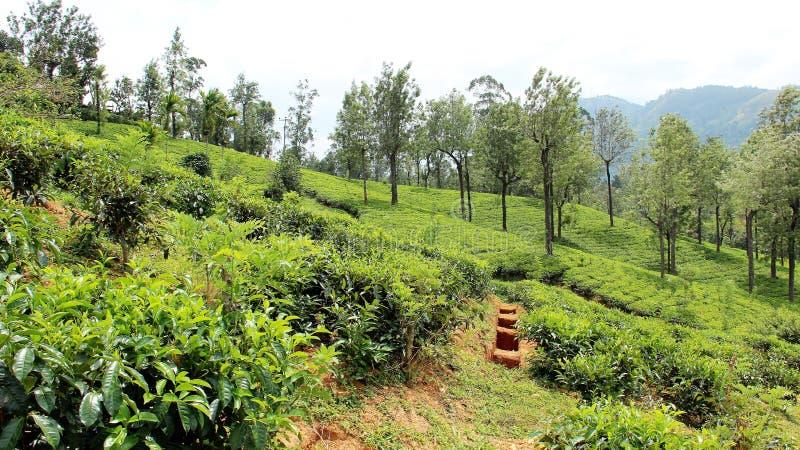 高地的茶园在nuwara eliya斯里兰卡 免版税图库摄影