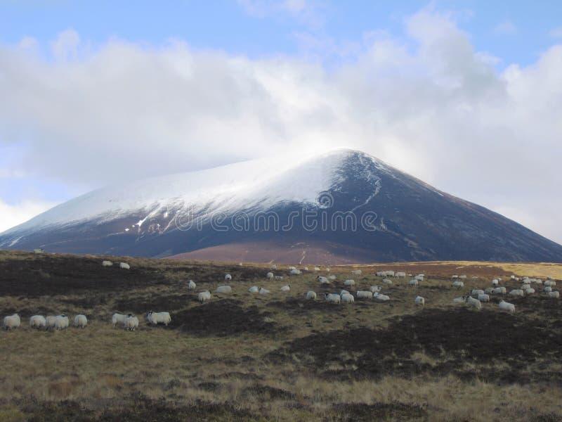 高地苏格兰人绵羊 免版税库存照片