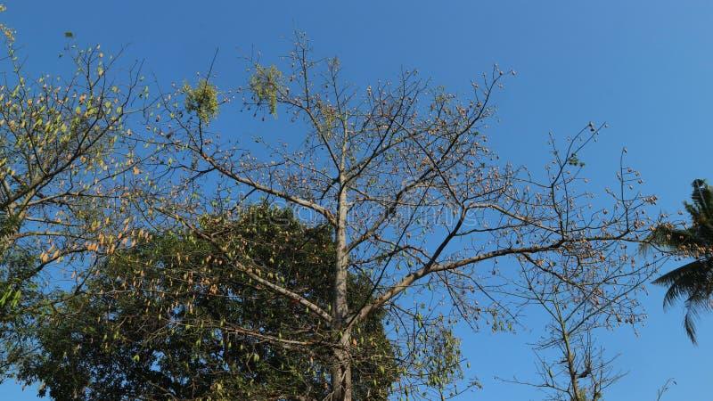 高大的卡波克树,蓝天背景 免版税库存照片
