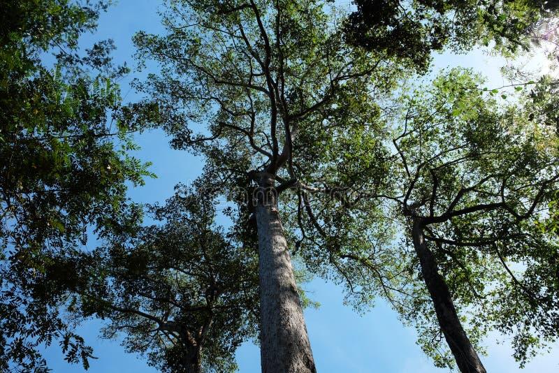 高大的树木冠交错与分支反对清楚的天空 树在一个热带森林里在一好日子 免版税库存照片