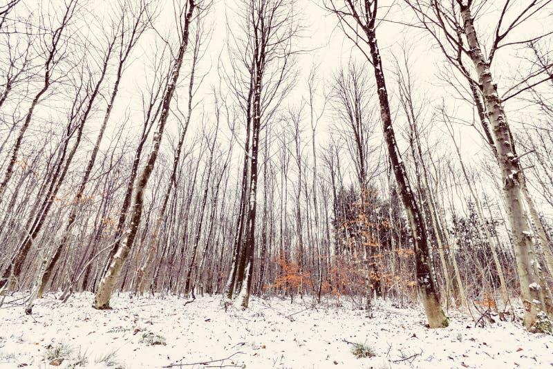 高大的树木在一个森林里冬天 库存照片