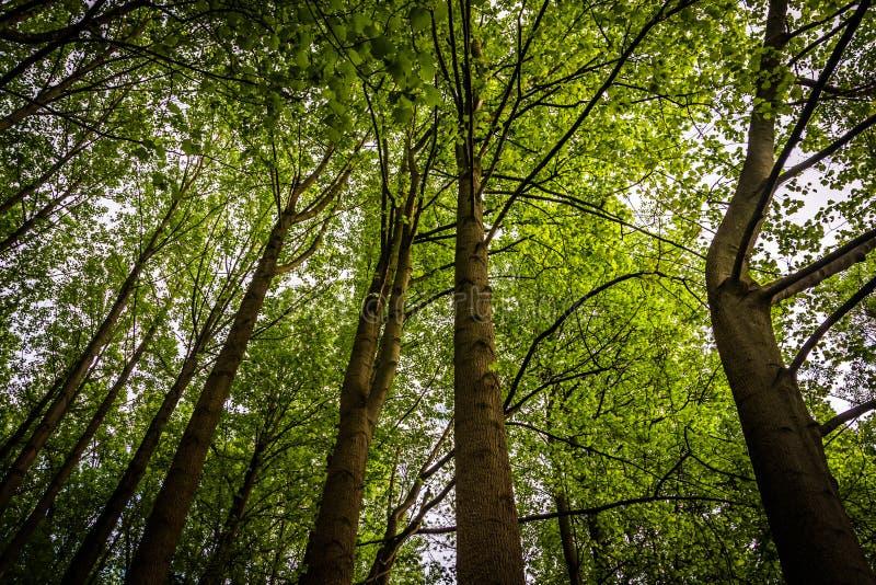 高大的树木在百年公园的一个森林里,在哥伦比亚,马里兰 库存照片