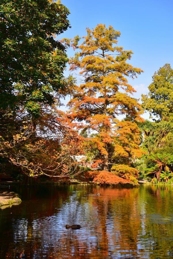 高大的树木用桔子和黄色在秋天离开,在克赖斯特切奇植物园里 库存图片