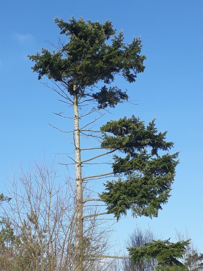 高大的树木蓝色skye 库存图片