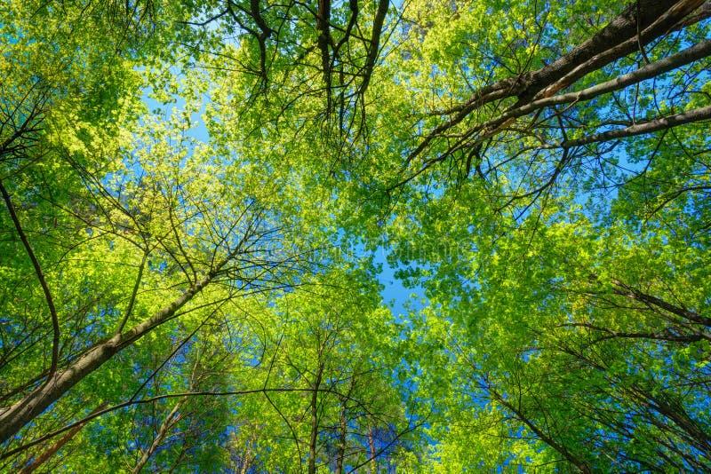 高大的树木晴朗的机盖  在落叶的阳光 库存照片