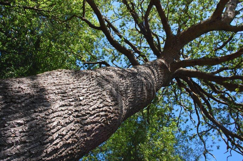 高大的树木 免版税图库摄影