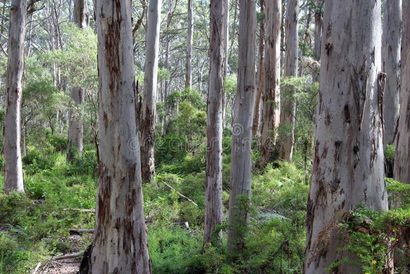 高大的树木Boranup Karri森林西方澳洲 免版税库存照片