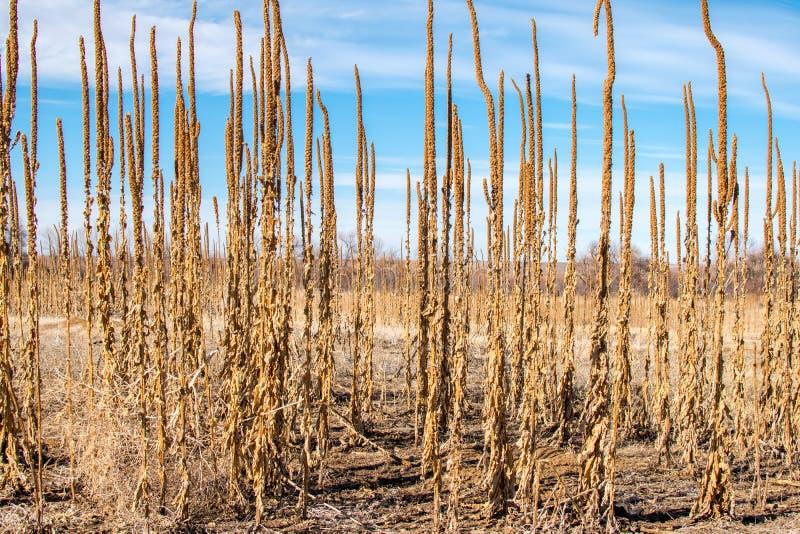 高大草原种植冬天 库存照片