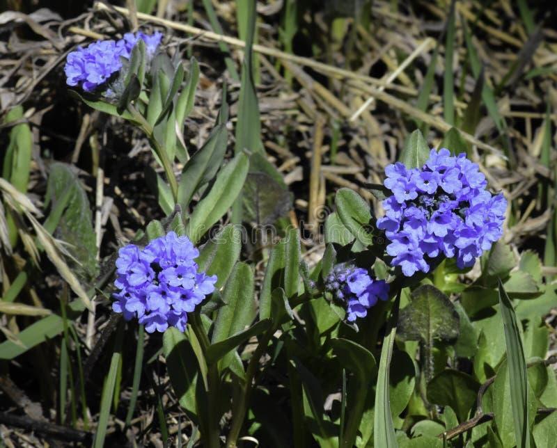 高山会开蓝色钟形花的草紫草科琉璃苣 图库摄影