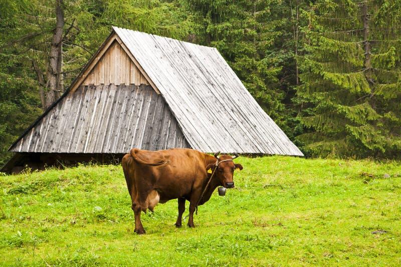 高山母牛 库存图片