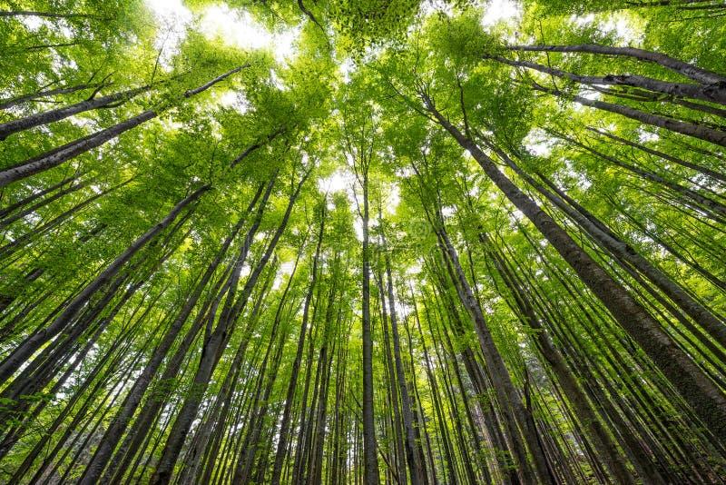 高山毛榉树 库存图片