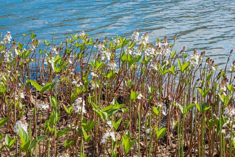 高山湖的bogbean植物很少支持 图库摄影