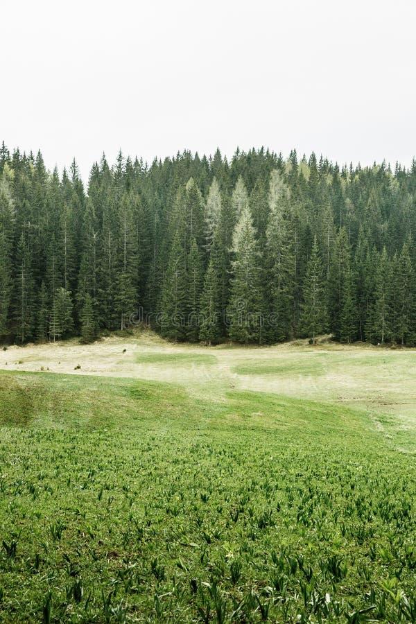 高山牧场地和针叶树健康森林  库存照片