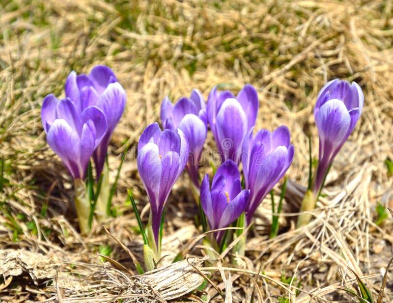 高山番红花在比利牛斯 免版税库存照片