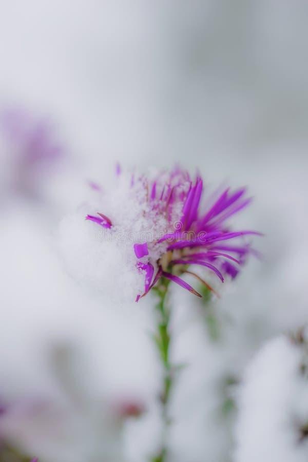 高山翠菊花在雪下的 免版税库存照片