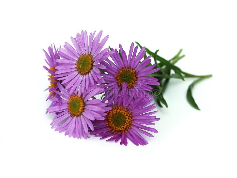 Download 高山翠菊 库存图片. 图片 包括有 开花的, 查出, 雌蕊, beautifuler, 的亚述, 工厂, 装饰 - 30338459