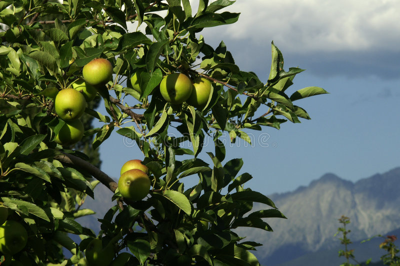 高山苹果 免版税图库摄影
