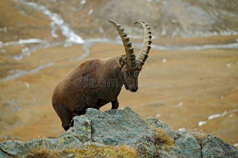 高山高地山羊,山羊属高地山羊,大鹿角动物画象与岩石的在背景中,在自然石头山栖所,在t的谷 免版税库存照片