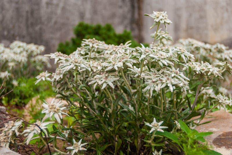 高山Edelweiss或火绒草属拉特 火绒草属 Edelweiss的开花的布什在一个郊区的花床上 免版税图库摄影